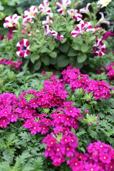 Balkonpflanzen Und Beetpflanzen Gartnerei Doetkotte In Gronau